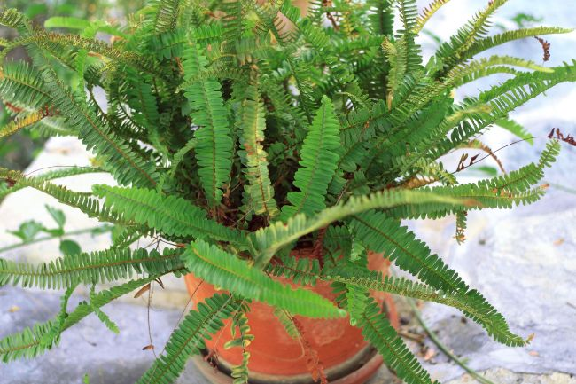 brown leaves on boston fern (Nephrolepis exaltata)