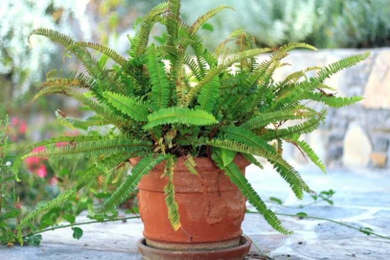 brown leaves on Boston Fern