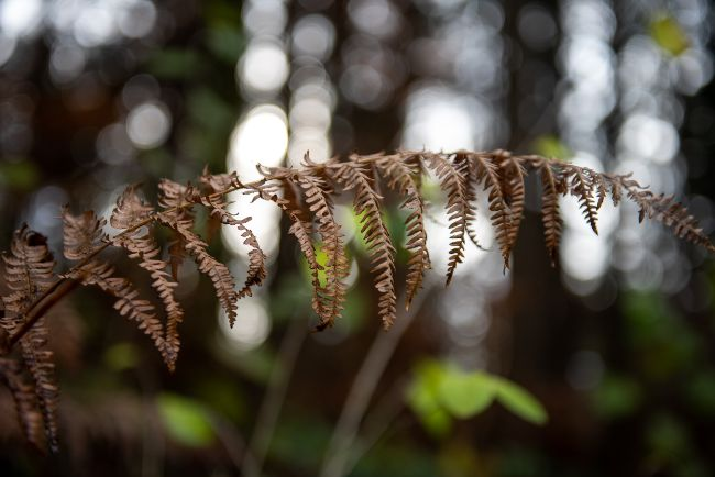 Boston Fern brown leaves