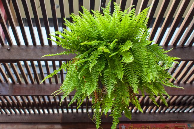 brown leaves on Boston fern (Nephrolepis exaltata) due to natural aging