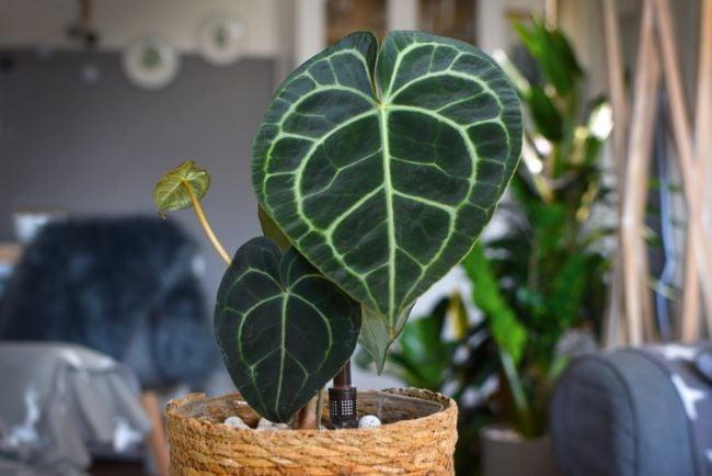 anthurium clarinervium care
