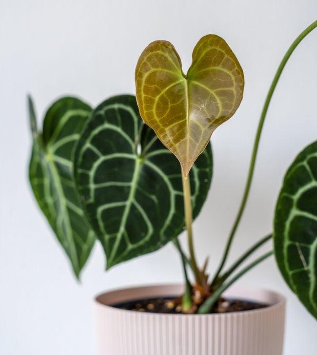 anthurium clarinervium foliage