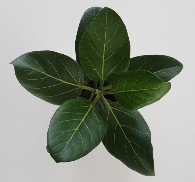 ficus benghalensis audrey care
