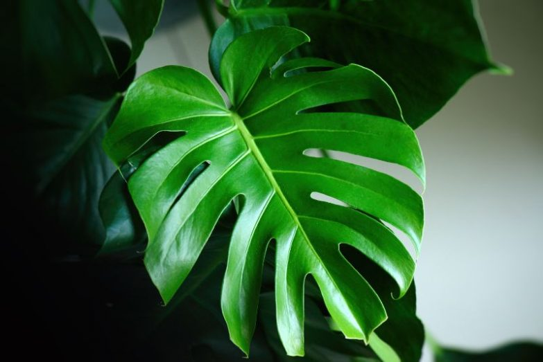 monstera leaves drooping