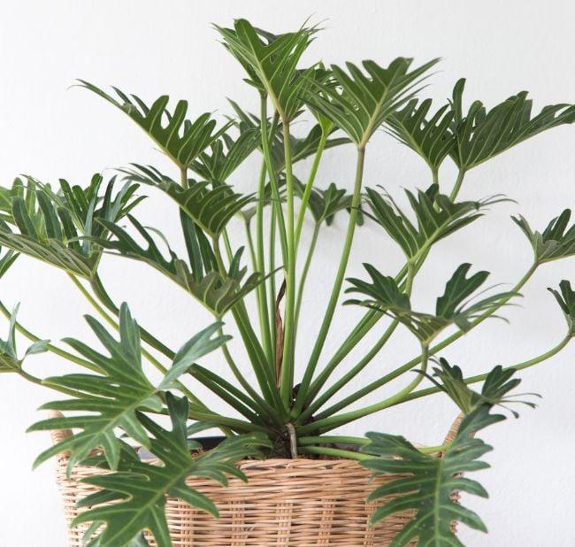 Philodendron xanadu care
