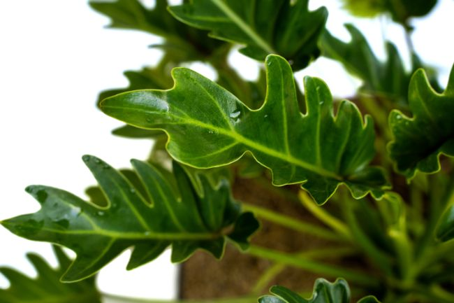 Philodendron xanadu foliage