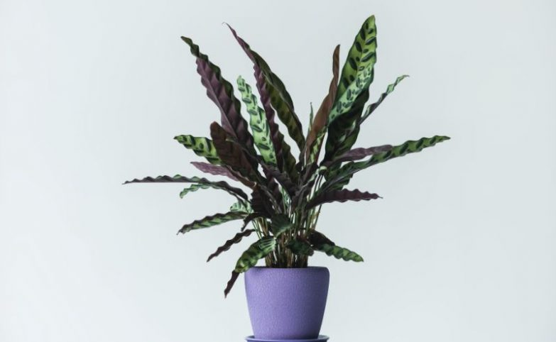 rattlesnake plant care calathea lancifolia goeppertia insignis
