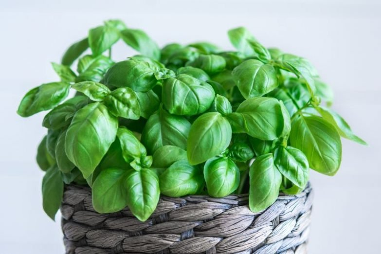 basil leaves turning brown