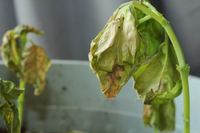 basil plant disease causing brown, wilting leaves