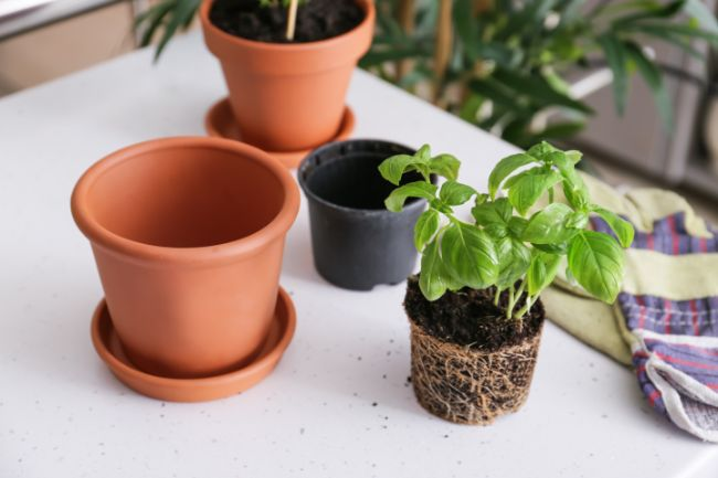 repotting basil plant