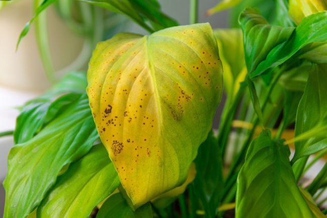 yellow leaf with brown spots