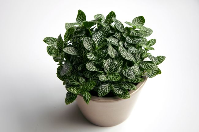 healthy fittonia nerve plant