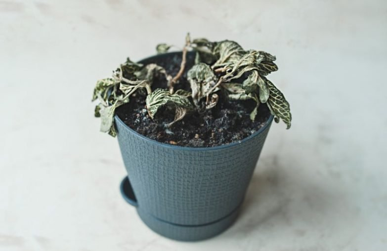 fittonia plant dying nerve plant wilting