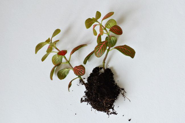 fittonia nerve plant with roots