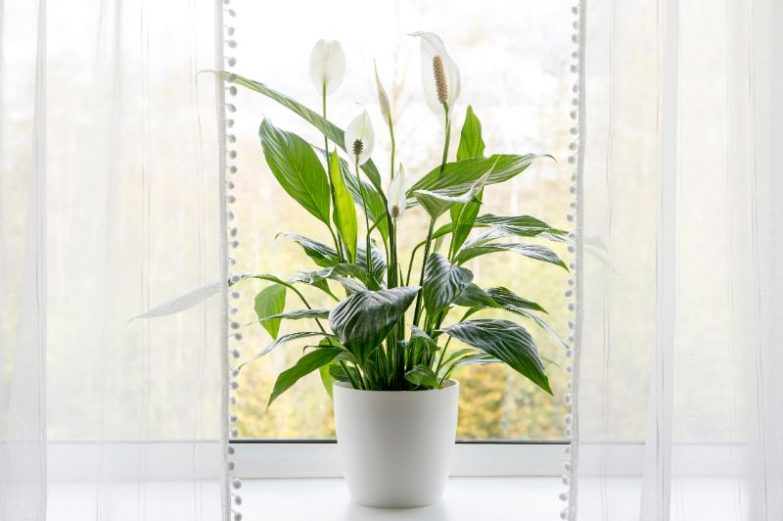 peace lily meaning and symbolism