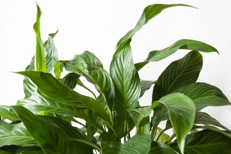 peace lily not blooming spathiphyllum