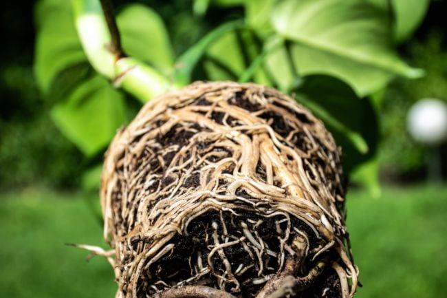 rhizome vs root
