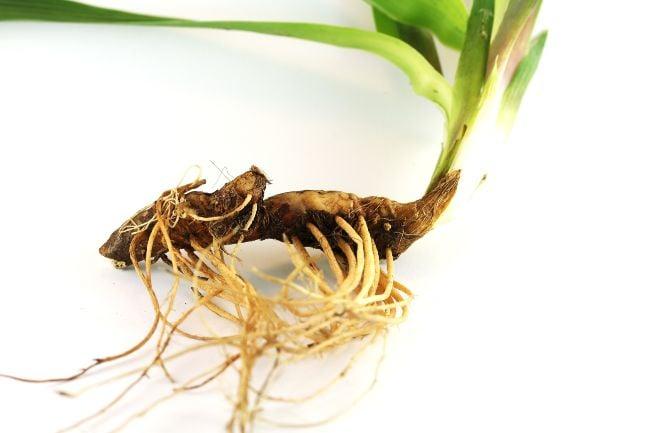 rhizome of plant