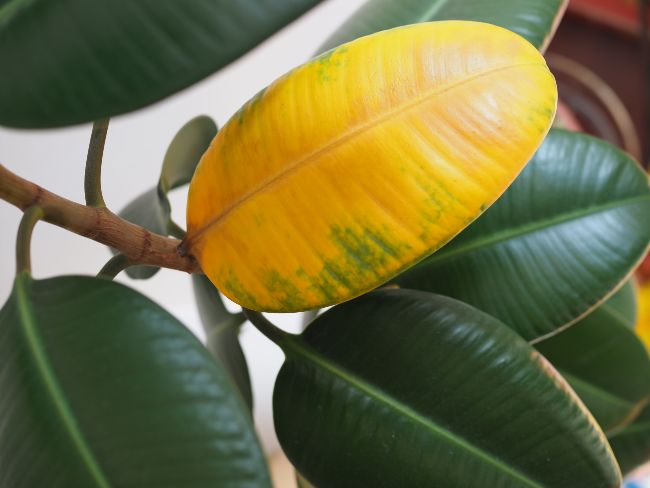 rubber plant leaves turning yellow