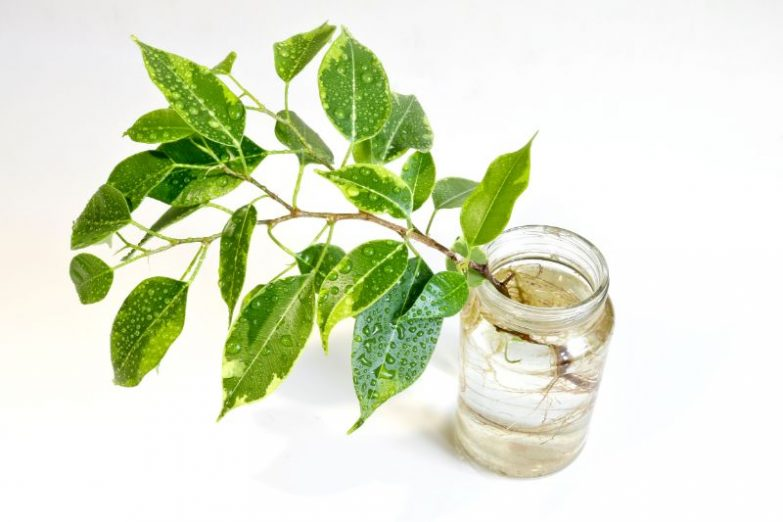 weeping fig propagation ficus benjamina