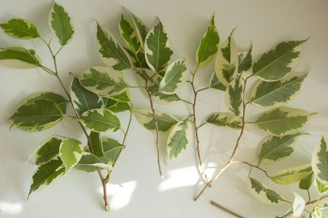 weeping fig cuttings ficus benjamina