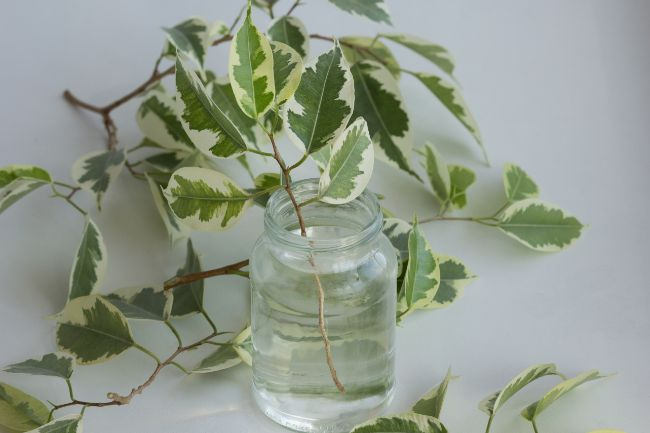 weeping fig water propagation