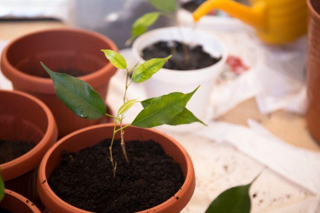 weeping fig propagation in soil ficus benjamina