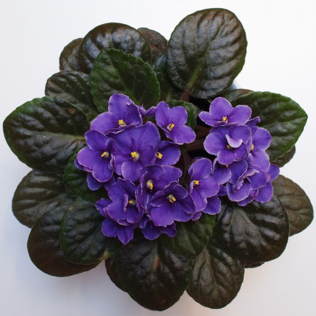 african violets houseplants safe for cats