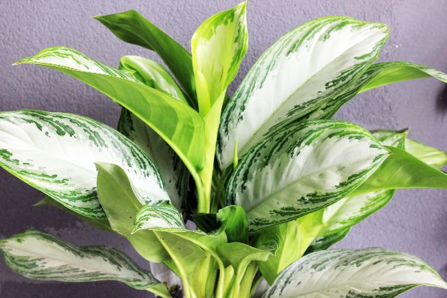 23 Beautiful Aglaonema Varieties (Chinese Evergreen ...