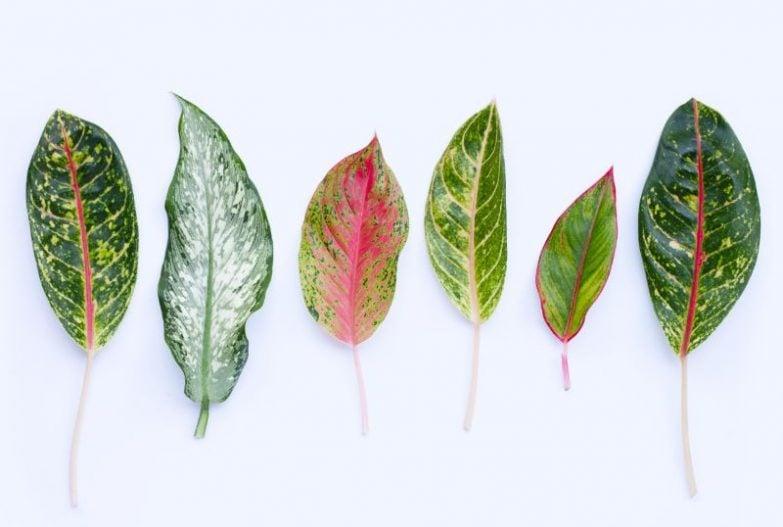 aglaonema varieties chinese evergreen