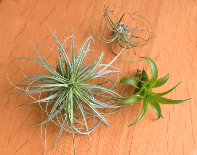 air plants houseplants safe for cats