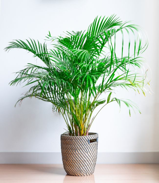 areca palm houseplants safe for cats