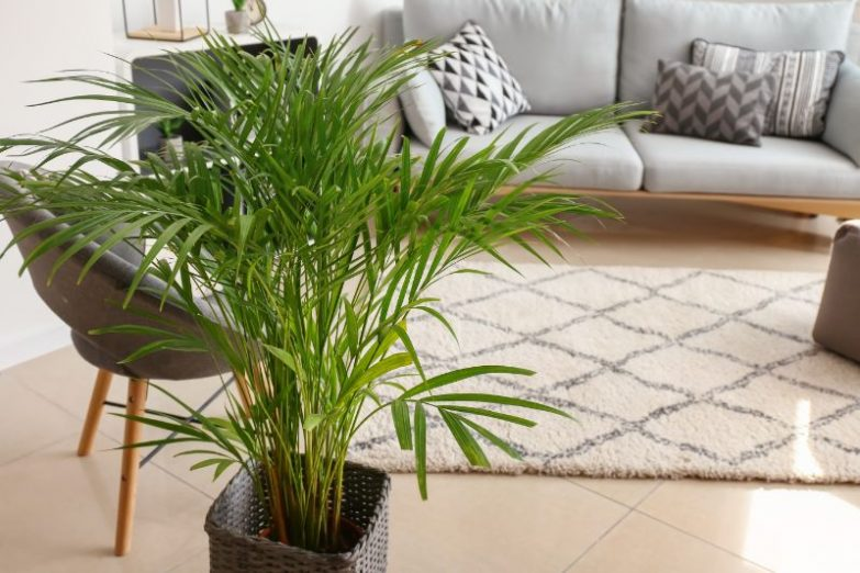 areca palm propagation