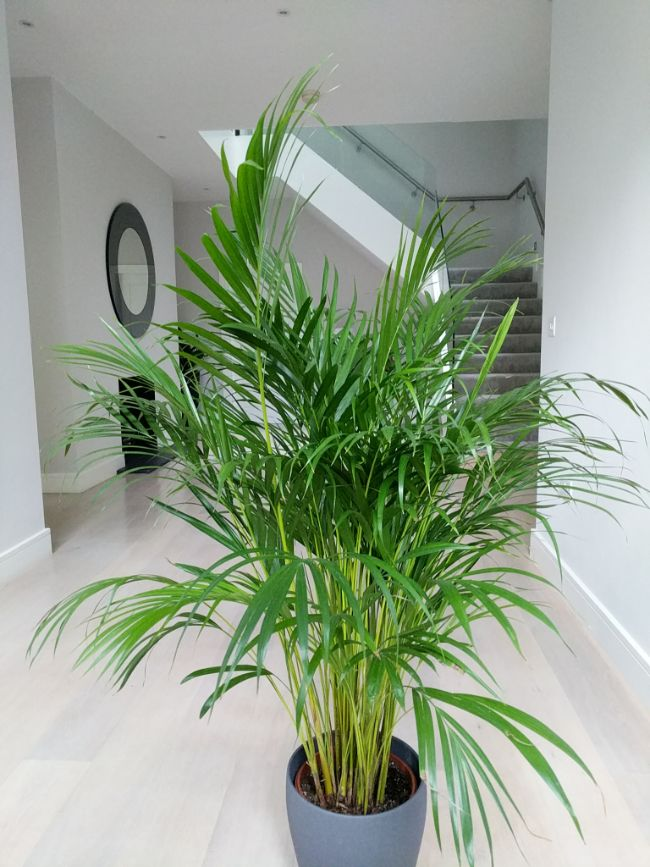 Areca Palm Dypsis lutescens in my hall