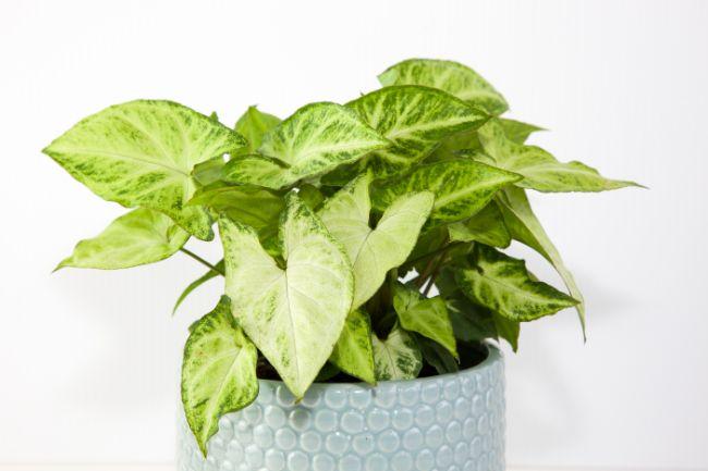 arrowhead plant easy houseplants to propagate