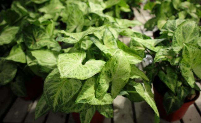 Arrowhead plant propagation