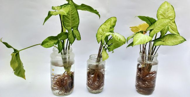 arrowhead plant propagation in water