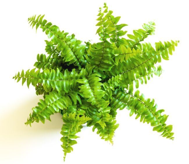 boston fern houseplants safe for cats