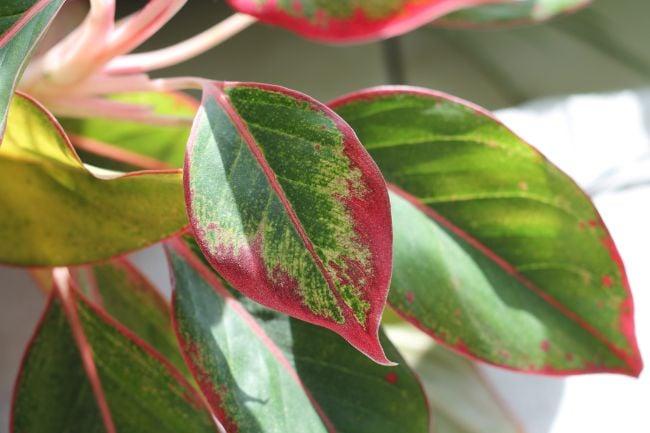 chinese evergreen yelow leaves aglaonema