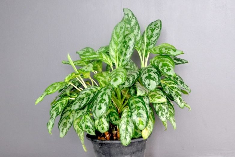 chinese evergreen yellow leaves