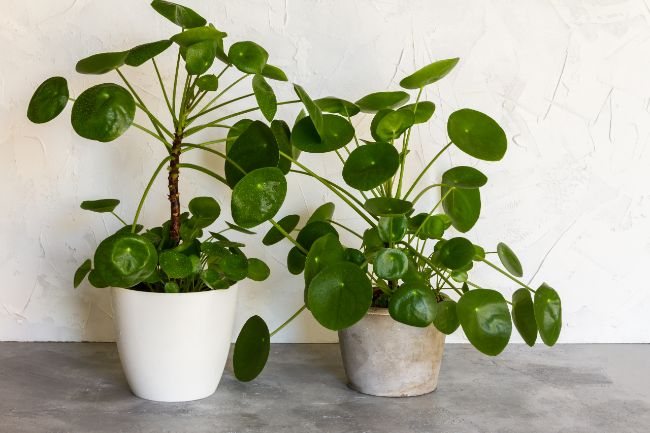 chinese money plant leaves curling