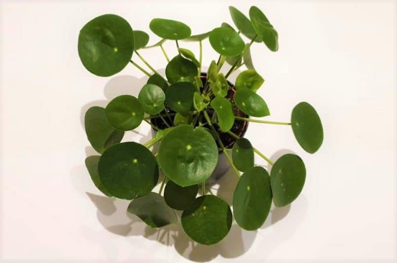 chinese money plant leaves curling pilea peperomioides