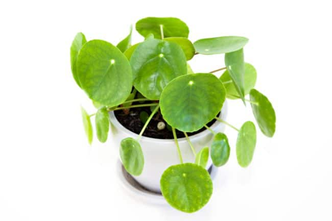 caring for Chinese money plant after propagation