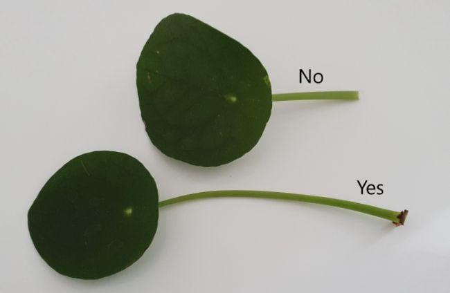 Pilea Peperomioides leaf propagation