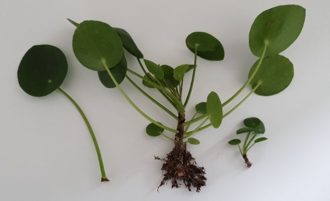 Pilea Peperomioides cuttings