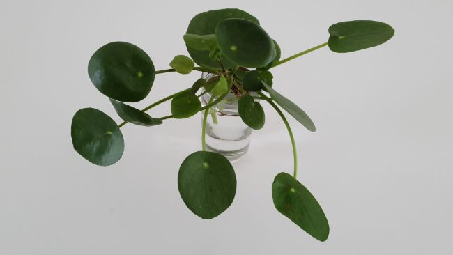 Chinese Money Plant propagation in water
