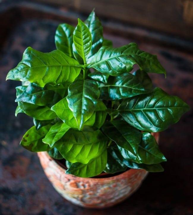 coffee plant care indoors coffea arabica