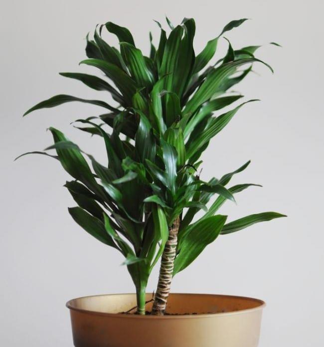dracaena brown tips