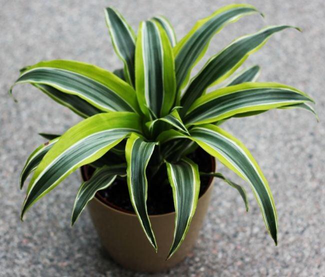 dracaena lemon lime with brown leaf tips