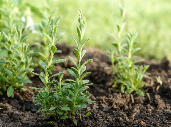 young lavender plants